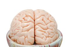 Human brain anatomy model for education. Physiology royalty free stock image