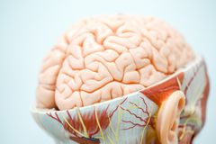 Human brain anatomy model for education. Physiology royalty free stock photo