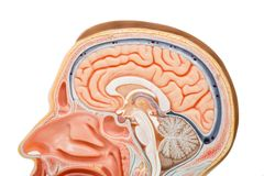 Human brain anatomy model. For education stock photo