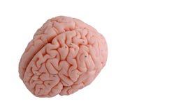 Human brain anatomy model. On white background stock image