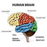 Human brain anatomy. Human brain sections. vector illustration Royalty Free Stock Image