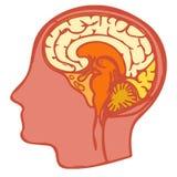 Human Brain anatomy Royalty Free Stock Photo