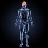 Human Brain anterior view Stock Images