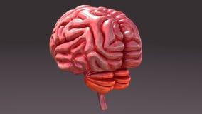 Human Brain Back View Stock Photos