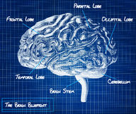 The human brain blueprint Stock Photos