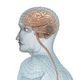Human brain and body. Wire model Stock Photos