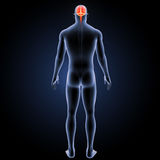 Human Brain with body posterior view Stock Images