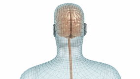 Human brain and body wire model stock footage