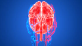 Human Brain with Circulatory System Stock Images