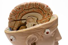 Human Brain (Close View) Royalty Free Stock Image