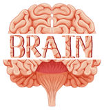 Human brain in closer look Royalty Free Stock Images