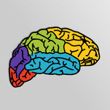 Human Brain. Stock Images