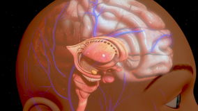 Human Brain. The human brain is the command center for the human nervous system. It receives input from the sensory organs and sends output to the muscles. The stock footage