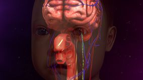 Human Brain. The human brain is the command center for the human nervous system. It receives input from the sensory organs and sends output to the muscles. The Stock Images