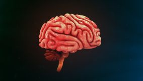 Human Brain. The human brain is the command center for the human nervous system. It receives input from the sensory organs and sends output to the muscles. The Royalty Free Stock Photo