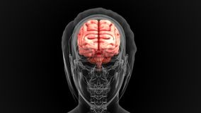 Human Brain Stock Photo