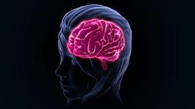 Human Brain Stock Photo