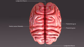 Human Brain. The human brain is the command center for the human nervous system. It receives input from the sensory organs and sends output to the muscles. The Royalty Free Stock Image
