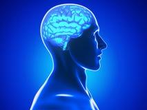 Human brain vector illustration