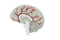Human brain cross section model Stock Image