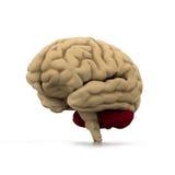 Human brain. 3d illustration of human brain Stock Photo