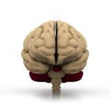 Human brain. 3d illustration of human brain Royalty Free Stock Image