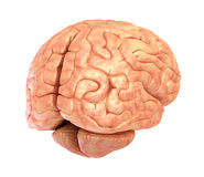 Human brain 3D model, Royalty Free Stock Photography