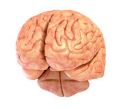 Human brain 3D model Royalty Free Stock Photo