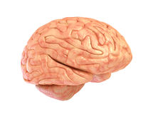 Human brain 3D model, Royalty Free Stock Images