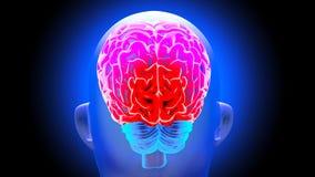 Human brain 3D render. Human brain on dark background. 3D render Royalty Free Stock Photos