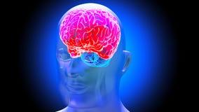 Human brain 3D render. Human brain on dark background. 3D render Stock Image
