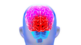 Human brain 3D render. Human brain isolated on white background. 3D render Royalty Free Stock Photo