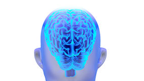 Human brain 3D render. Human brain isolated on white background. 3D render Royalty Free Illustration