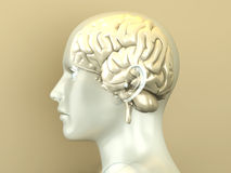 Human Brain. The Human Brain. 3D rendered anatomical illustration Royalty Free Stock Photography