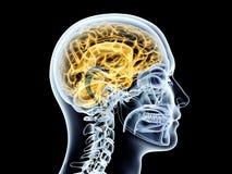 Human Brain Stock Photography