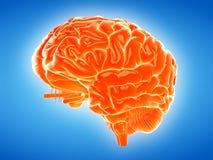 The human brain Royalty Free Stock Photos