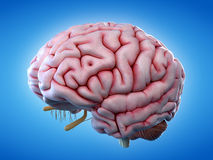 The human brain. 3d rendered, medically accurate illustration of the human brain stock illustration