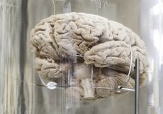 Human brain. Detail of a human organ, intelligence and thought royalty free stock images