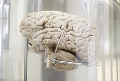 Human brain. Detail of a human organ, intelligence and thought royalty free stock photo