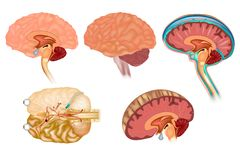 Human brain detailed anatomy stock illustration