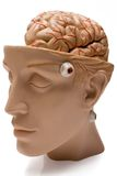 Human Brain (Front Side View) Stock Images
