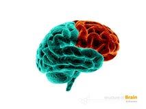 Human brain, frontal lobe anatomy structure. Human brain anatomy 3d illustration. isolated withe. Human brain frontal lobe anatomy structure. Human brain anatomy Royalty Free Stock Photo