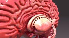 Human Brain Half with Internal Part Royalty Free Stock Photo