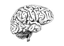 Human brain. Hand drawing of the human brain Royalty Free Stock Image
