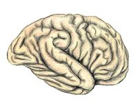 The human brain side view. The human brain hand drawn medical illustration, color pencils drawing with imitation of lithography Royalty Free Stock Images