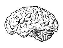Human brain vector file. Human brain hand drawn vector file Stock Images