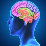 Human Brain Stock Image