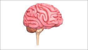 Human Brain stock video