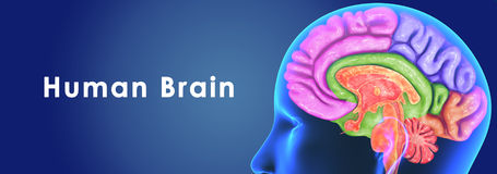Human Brain Royalty Free Stock Photo