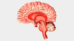 Human Brain Intersection. The human brain has the same general structure as the brains of other mammals, but has a more developed cortex than any other. The vector illustration